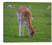 Fallow Deer - Dama Dama, Canvas Print