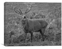 Red Deer Stag (Cervus Elaphus), Canvas Print