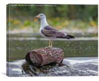 Lesser Black - Backed Gull (Larus Fuscus), Canvas Print