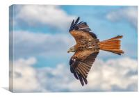 Red Kite In Full Flight, Canvas Print