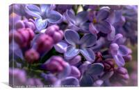 delicate lilacs, Canvas Print