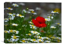 Amongst The Daisey's, Canvas Print