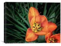 Orange Bloom, Canvas Print