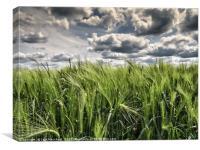 Fields of Wheat under a Steel Sky, Canvas Print
