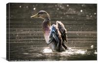Female Mallard Duck Fapping Her Wings, Canvas Print