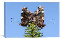 Red Admiral Butterflies Mating, Canvas Print
