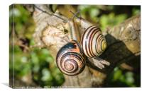 Two Grove Small Striped Snail / Snails, Canvas Print