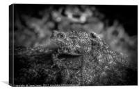 Amphibian, Common British Toad / Frog, Canvas Print
