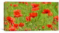Poppy Fields, Canvas Print