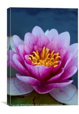 WaterLily in bloom, Canvas Print