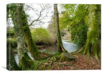 Moss on tree trunks by the River Fowey, Canvas Print