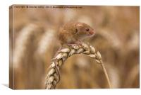 Harvest Mouse (micromys minutus) on ear of corn, Canvas Print