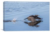 Cormorant low flying over Water, Canvas Print