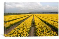 yellow tulips, Canvas Print