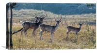 group of fallow deer , Canvas Print