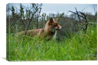 wild red fox in Holland, Canvas Print
