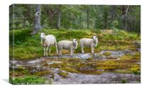 three sheep animals in nature in norway, Canvas Print