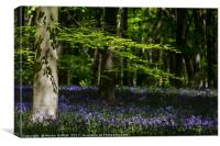 Beech and Bluebells, Canvas Print