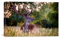 Stag in Evening Light, Canvas Print