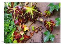 Autumn ivy                             , Canvas Print