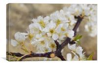 Japanese cherry blossom, Canvas Print