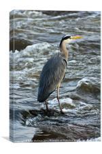 Animal, Bird, Grey Heron, Ardea cinerea