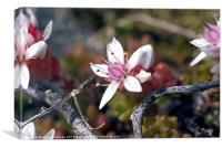 Plant, English Stonecrop, Sedum anglicum, Flowers, Canvas Print