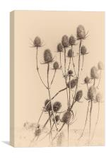 Plant, Wild teasel, Dipsacus fullonum, Seed heads, Canvas Print