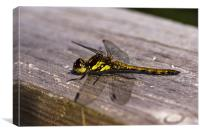 Dragonfly, Common Darter, Sympetrum striolatum, fe, Canvas Print