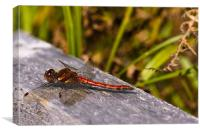 Dragonfly, Common Darter, Sympetrum striolatum, ma, Canvas Print