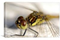 Common Darter  dragonfly compound eye and synthora, Canvas Print