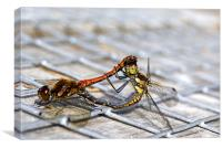 Common Darter dragonflies mating, Canvas Print