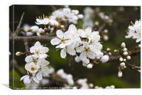 Blackthorn (Prunus spinosa) blossom, Canvas Print