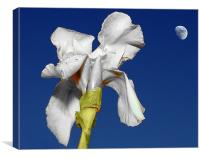 White Iris in the moonlight, Canvas Print
