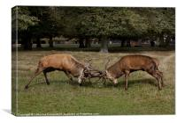 Stags rut at Bushy Park, Canvas Print
