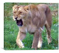 Lion roar!, Canvas Print