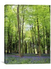 Bluebells in Ashridge Woods, Canvas Print
