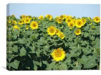 Facing the sun, Canvas Print