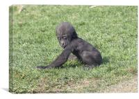 Baby Gorilla, Canvas Print