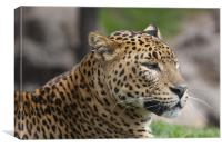 Leopard Head, Canvas Print