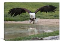 African Fish Eagle, Canvas Print