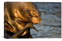 Sealion scratch, Canvas Print