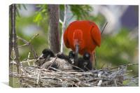 Scarlet Ibis, Canvas Print
