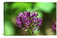 Allium, Canvas Print