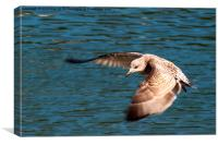 Great black backed gull, Canvas Print