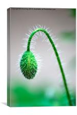Poppy Bud, Canvas Print