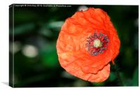 PoppyFlower, Canvas Print