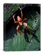 Garden Cross Spider, Canvas Print