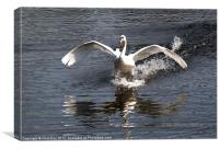 Swan Water Skiing, Canvas Print