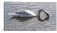 Swan Kissing itself, Canvas Print